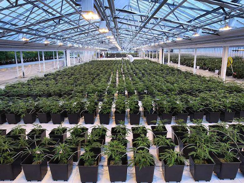 Medical Cannabis Company To Double Its Leamington Facilites