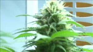 Flowering_Cannabis10.jpg