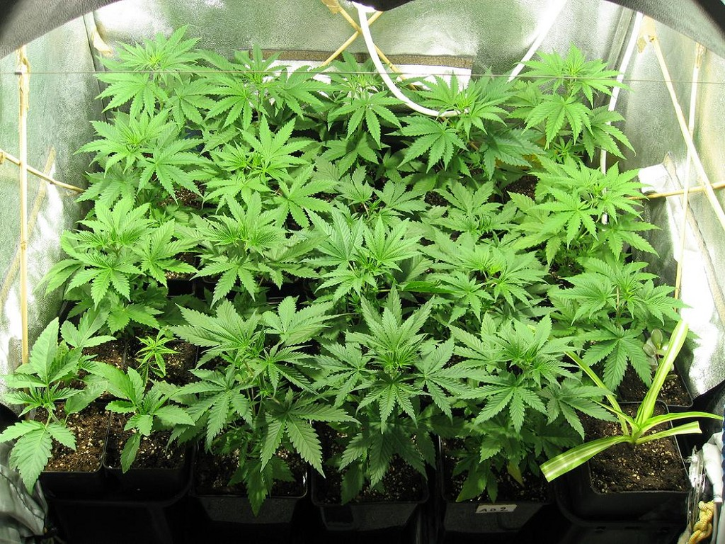 Indoor_Cannabis_Grow3.jpg