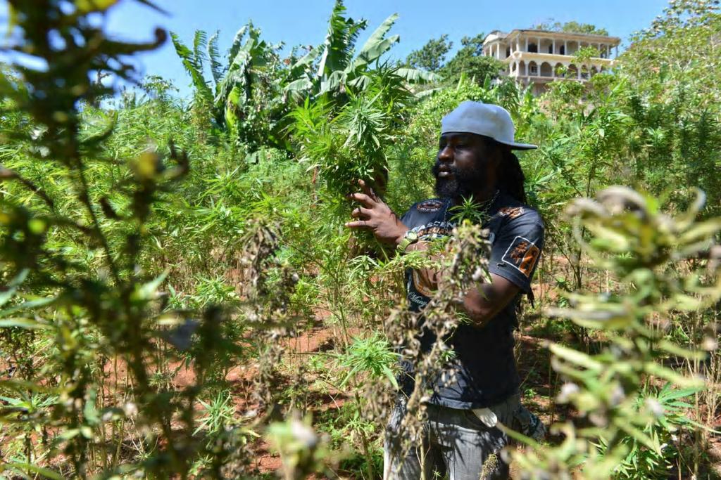 Jamaica_Grow.png