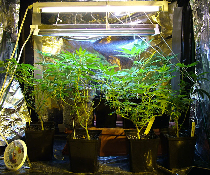 cannabis growing laws in Washington