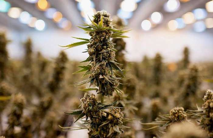 Medical_Marijuana_-_James_MacDonald.jpg