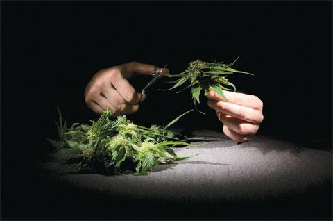 Trimming_Cannabis.jpg