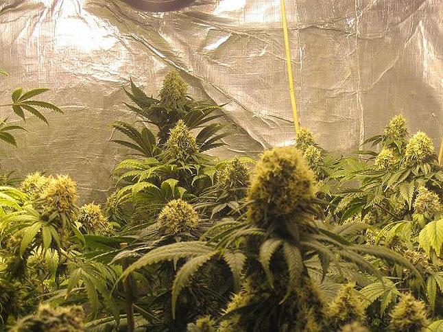 big_bud_indoor_grow1.jpg
