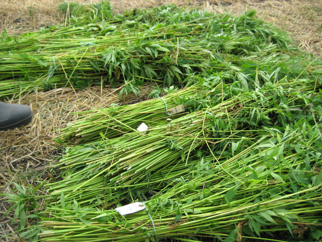 harvested_green_hemp_stalks.jpg