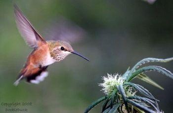 hummingbird-doobieduck08.jpg