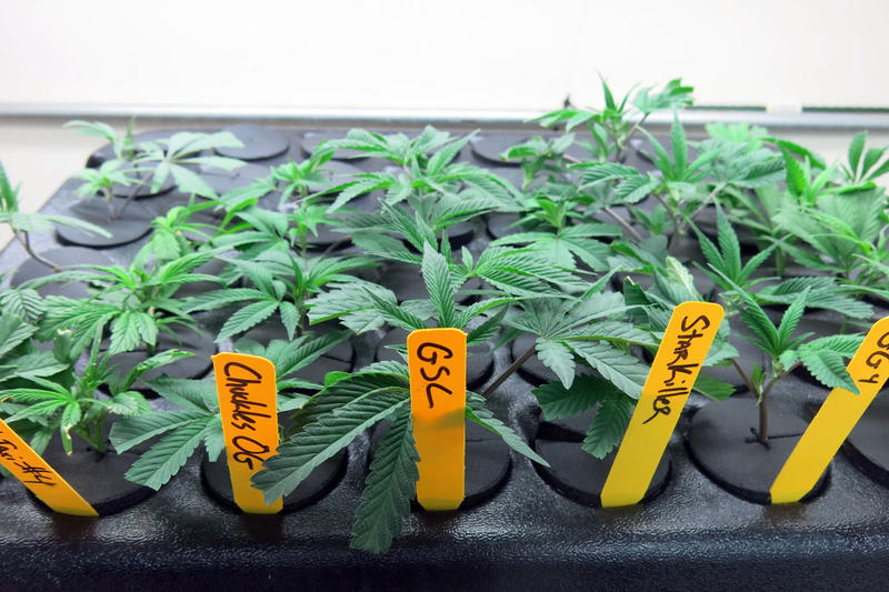 lr_cannabis-breeding_IMG_4108.JPG