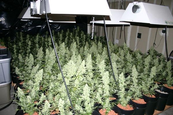 marijuana-cannabis-sea-of-green-sog.jpg