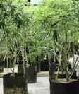 marijuana_plants_in_pots_cropped.JPG