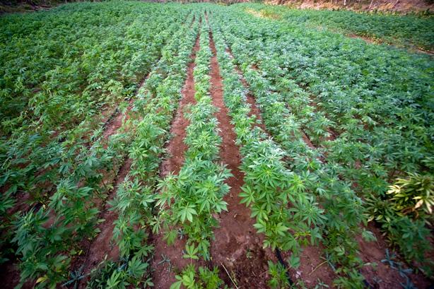 marijuanabeds.jpg