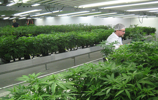 medical-marijuana_indoor_.jpg