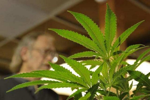 Cannabis_Plant11.JPG