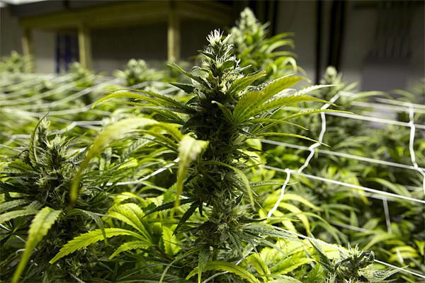 Flowering_Cannabis14.JPG