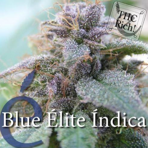 blue-elite-indica-eliteseeds-cannabisseeds-hanfsamen.JPG