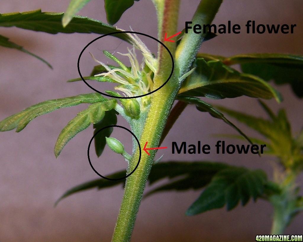hermaphrodite-cannabis1.jpg