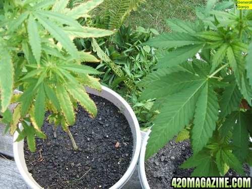 K Deficiency Cannabis
