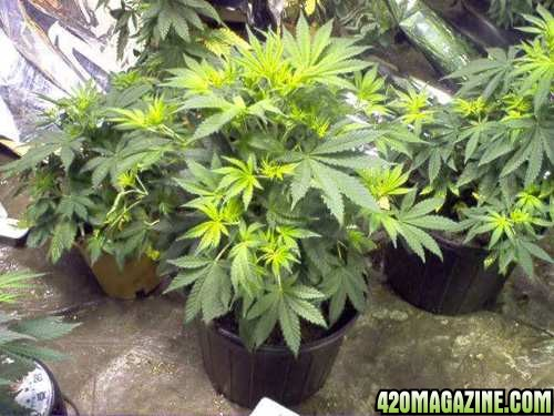 Cannabis plant and pest problem solver pictorial 420 - What does 500 square feet look like ...