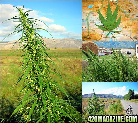12839xinjiang_altai_marijuana.jpg