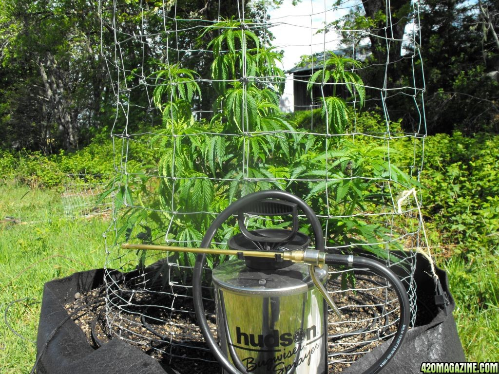 Super lemon haze outdoor grow 1 page 4 - The Canna Voyages Of Captain Kronic Page 2
