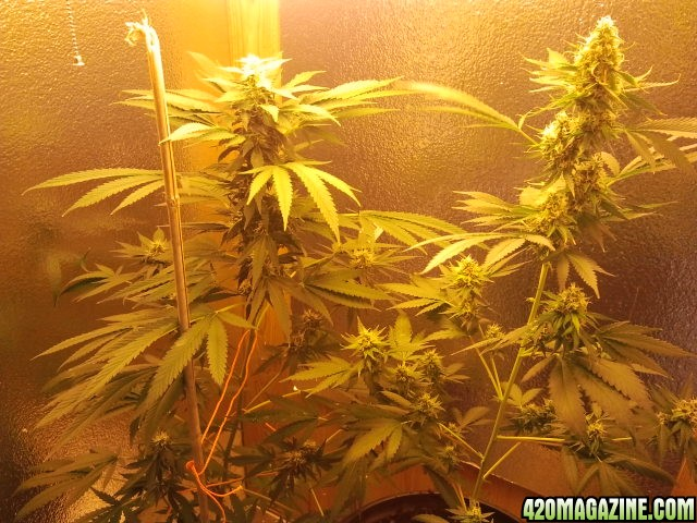 1st indoor cfl grow cannabisculture. Black Bedroom Furniture Sets. Home Design Ideas