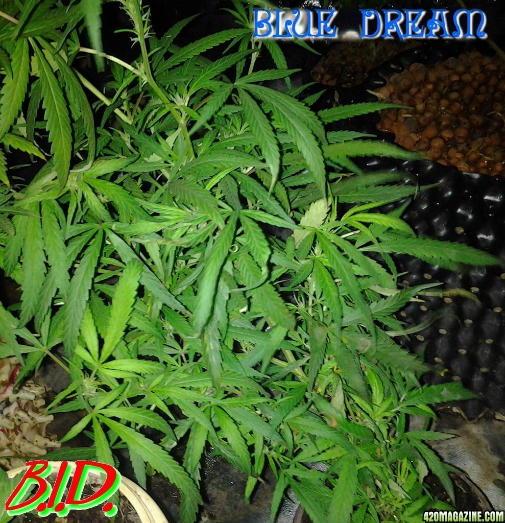 Top 5 Best Grow Cabi s For Growing Cannabis moreover 162916 Fimming Vs Topping additionally 186905 Bid 5 1 Digital Dual Jdl 600s 4x4 Organic Coco Perpetual 4 as well Iron Deficiency Cannabis furthermore Medijuana Marijuana Seeds Growing Vegetative. on fan on cannabis seedlings