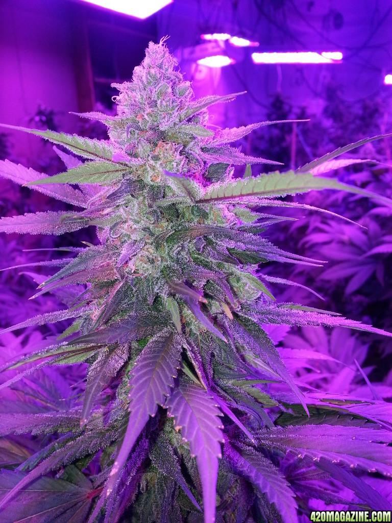 Blue Lemon Thai - 100% LED Grown | 420 Magazine