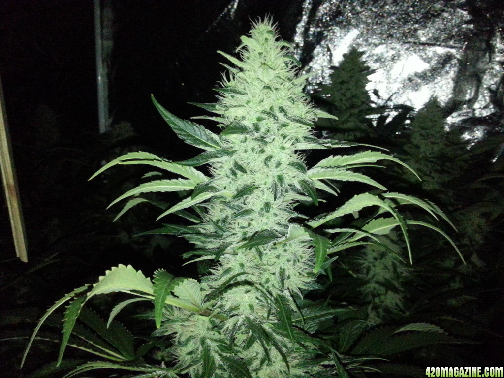1800W Jack Herer - Now In Flower :) | Page 2 | 420 Magazine ®