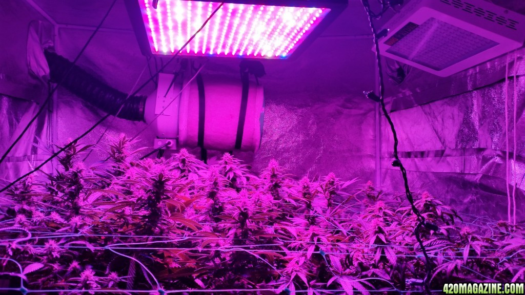 Mars Hydro Led Grow Light Discussion Page 425 420 Magazine