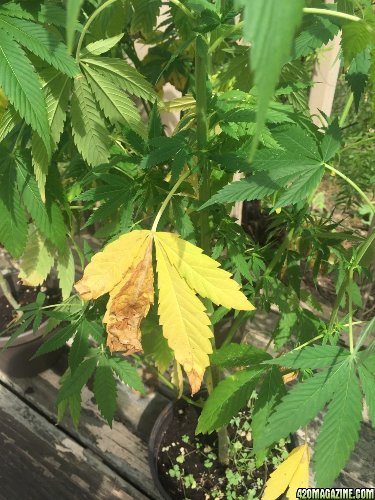 Help Outdoor Flowering Yellowing Dying Leaves 420 Magazine