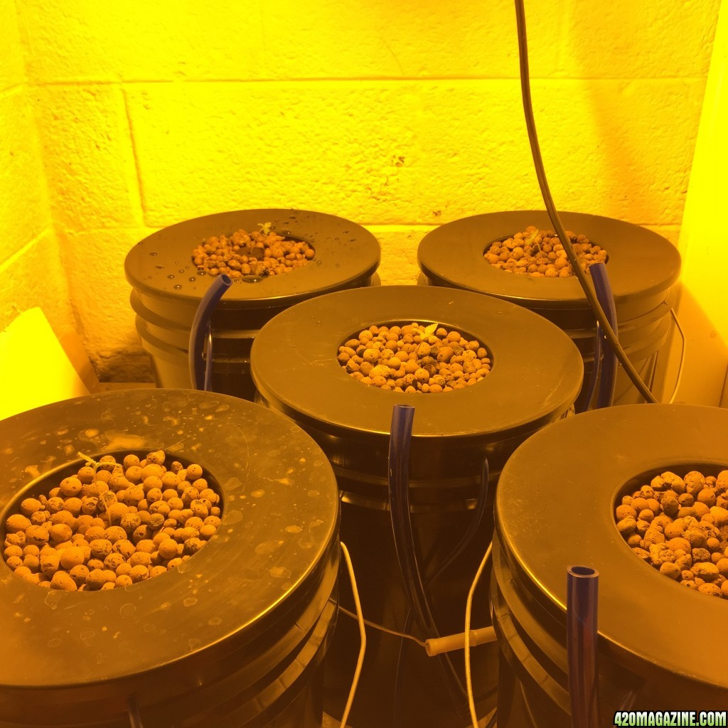 how to grow autoflowering seeds hydroponically