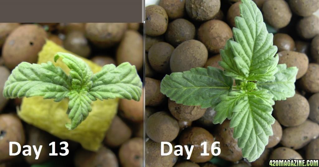 Bubbleponics - Top-fed DWC - Seedling very slow grow ...
