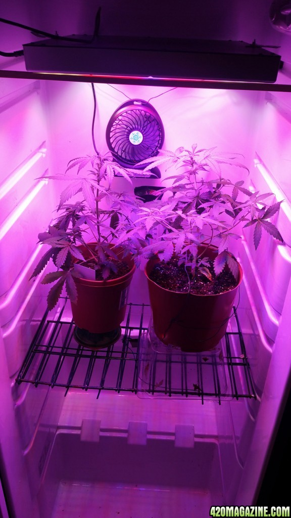 Smartie's first grow fridge - My Cerebro to connect with