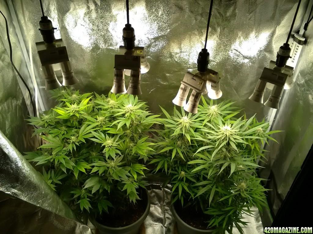 100 weed bulbs first grow in 3rd week of flowering under a