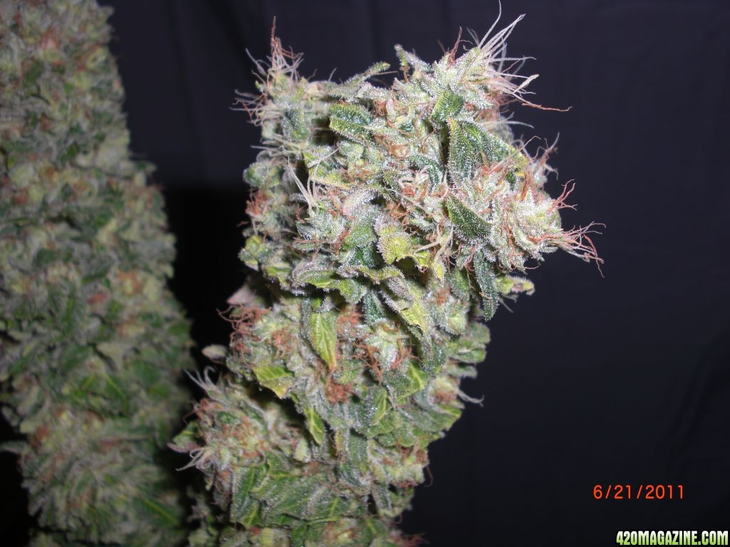 Seeing Is Not Believing >> Osmocote Plus Plant Food - Discuss Its Use With Cannabis Here! - Page 52