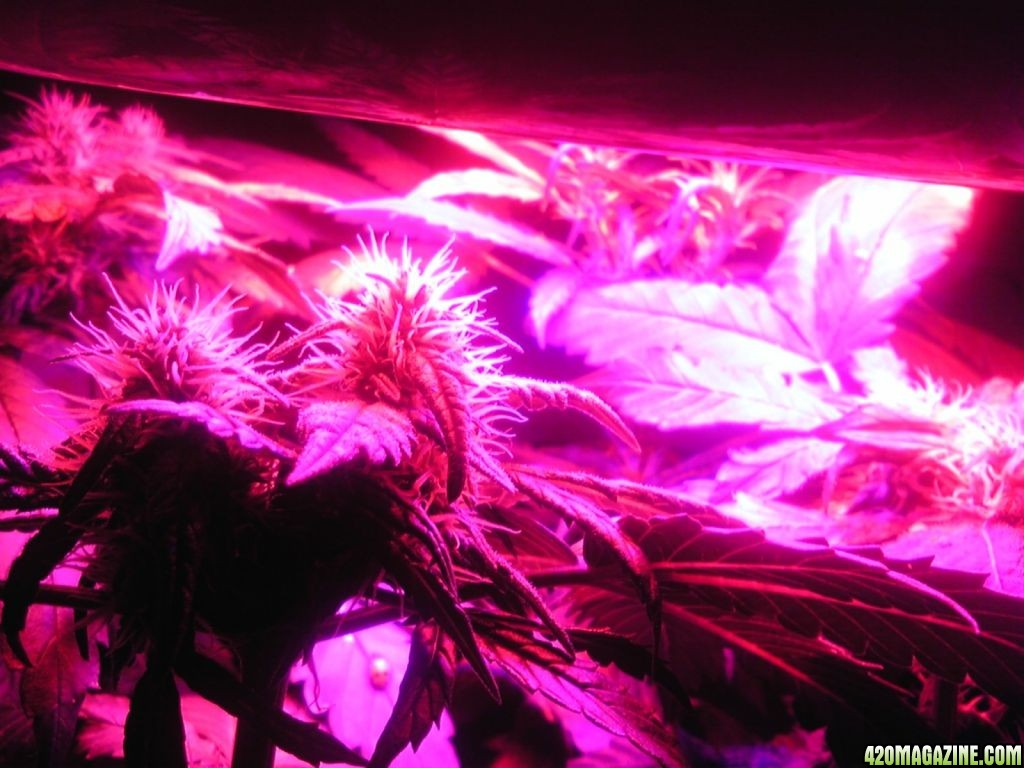 Midnight Kush Grow