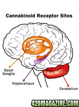 375-marijuana-brain.jpg