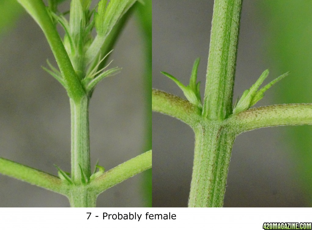 how to determine cannibis seed sex