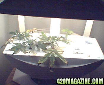 Re  Mago  Texas styleMago  Texas style   Page 9. Aerogarden Cannabis Harvest. Home Design Ideas