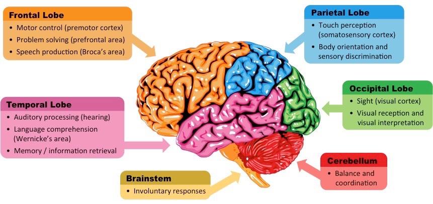 Neuro Genesis Study To Grow Dreams & Meds   420 Magazine