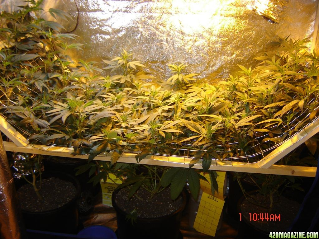 Built A Nice Quot U Quot Or V Quot Shaped Scrog Screen For 16