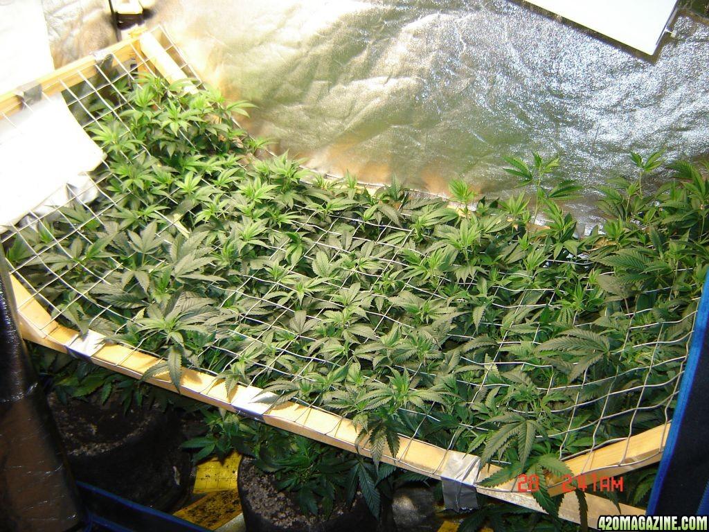 Icemud S Organic Scrog Grow 3 0 Page 27