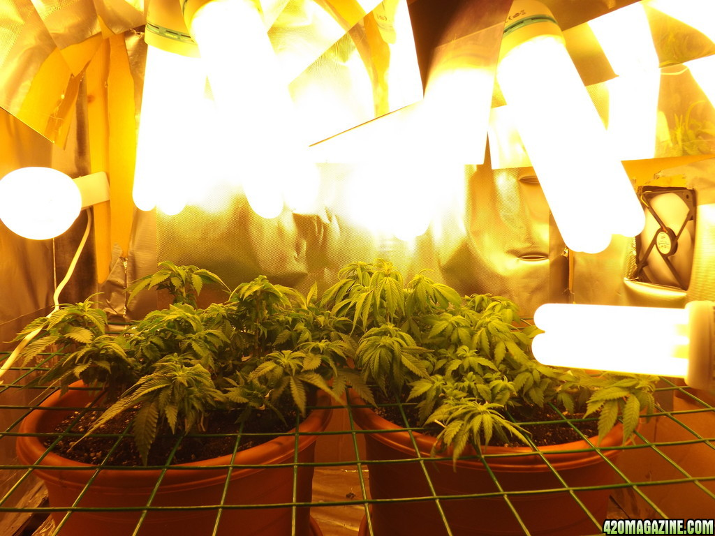 how to grow big buds with cfls