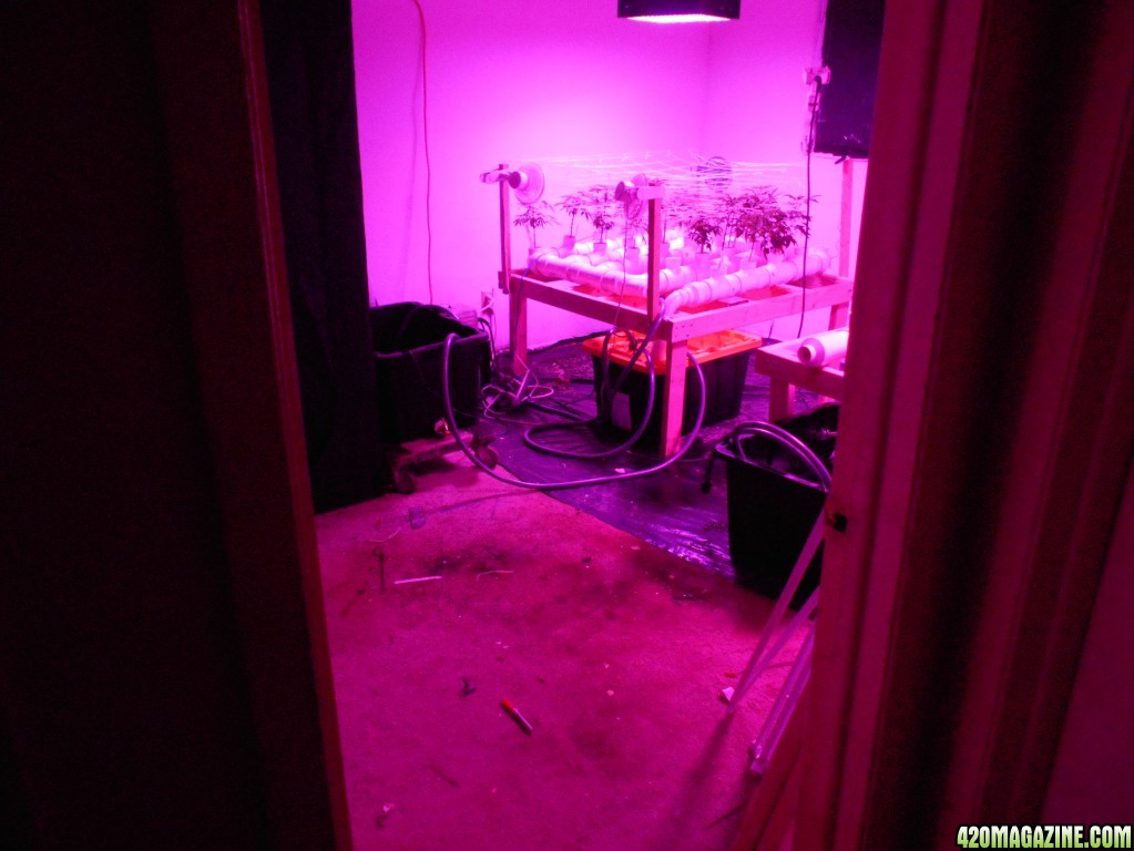Nft 13 39 x 11 39 multi strains for 11 x 13 room