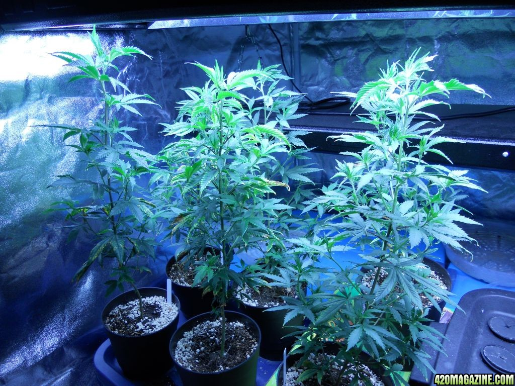Slow growth? Blue Dream from seed Day 53 pictures    420