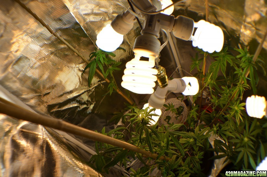 How Many Cfl Bulbs For Flower 420 Magazine