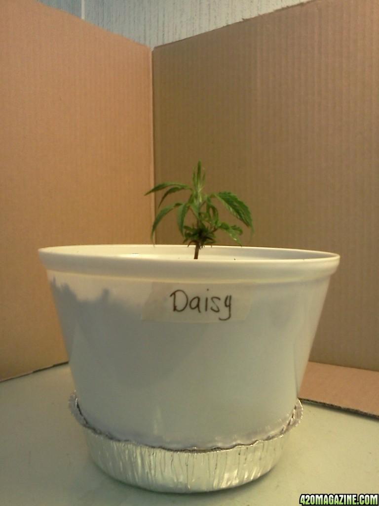 Daisy_4_8d.jpg