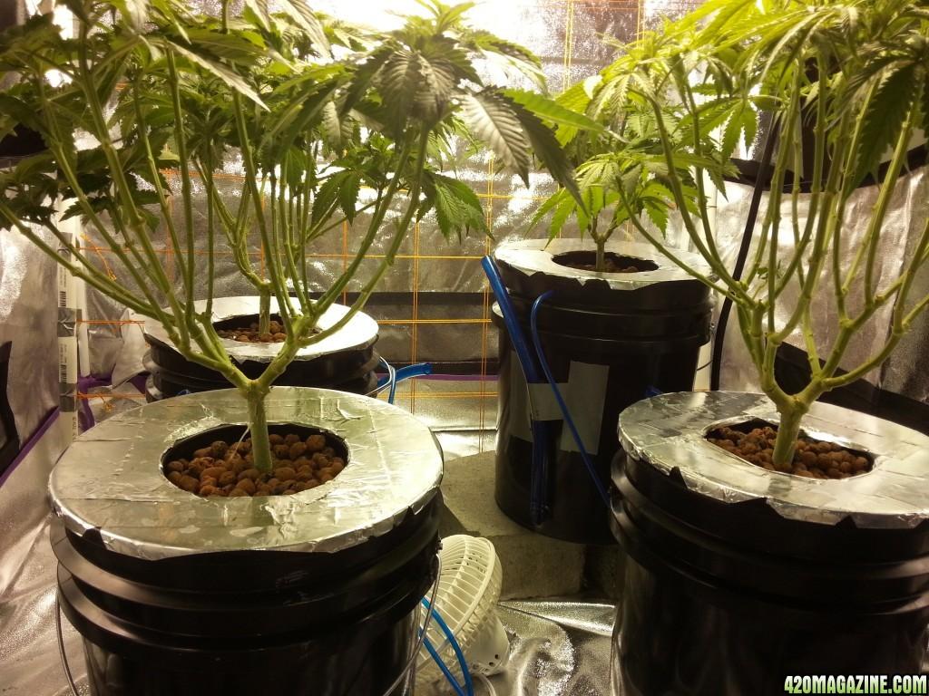 First Grow - Blue Dream - 4x4 Tent - 1000W Light - DWC | 420