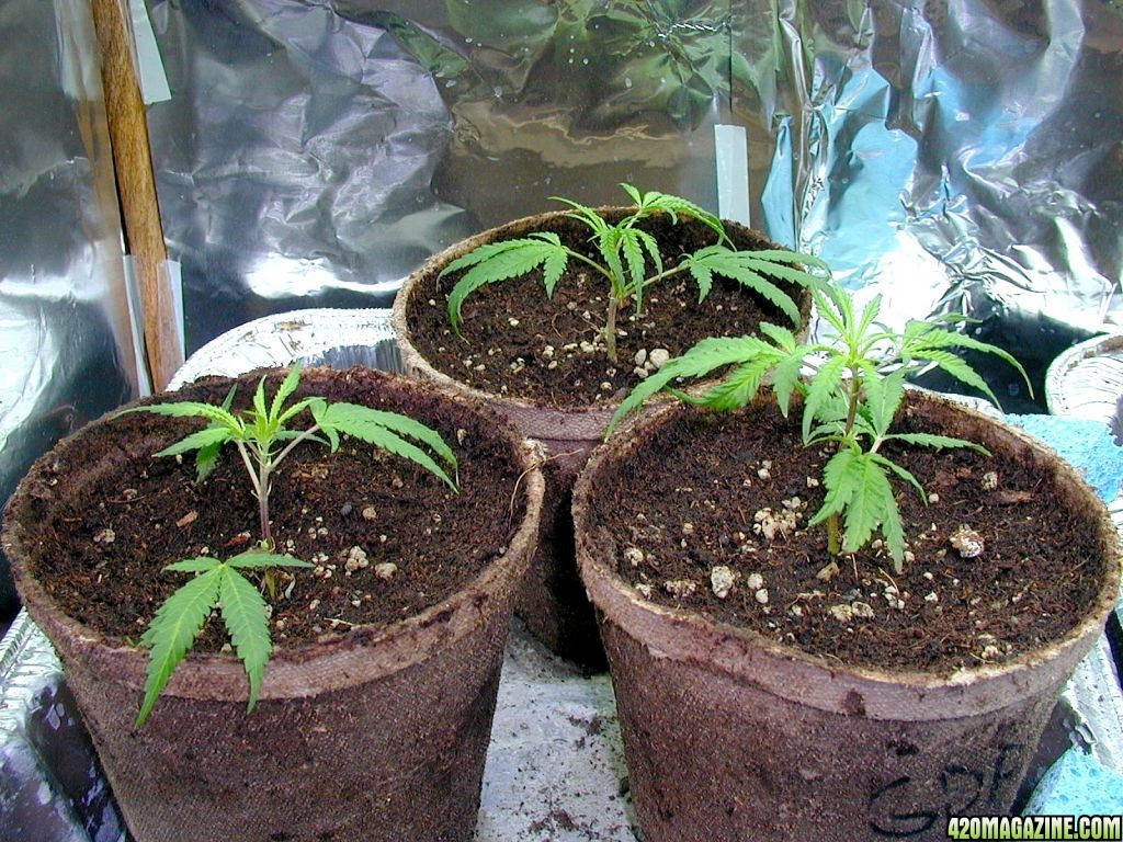 Cómo cultivar Clematis - Suministro de jardinero