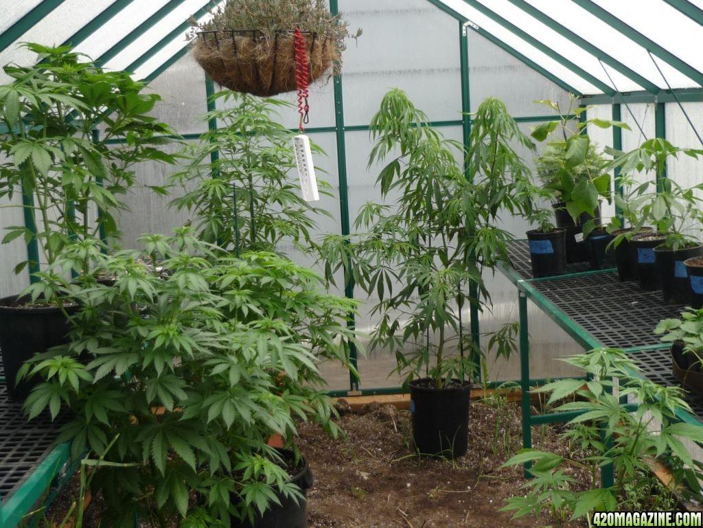 how to build a marijuana greenhouse
