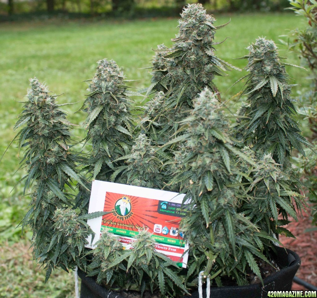Best crop king seeds 39 strains review by a real grower for Soil king extreme